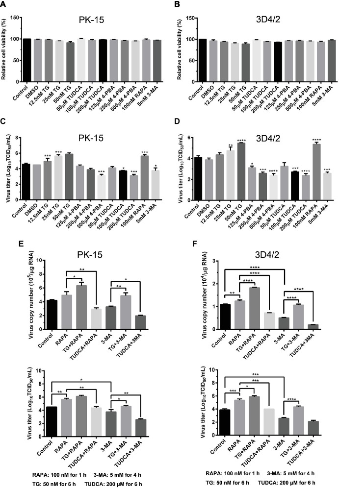 """Autophagy-regulated CSFV replication in cultured PK-15 and 3D4/2 cells can be mediated by ER stress. (A) The cell viability of PK-15 and 3D4/2 (B) cells were measured by the CCK-8 assays after treatments with the indicated concentrations of TG (12.5, 25 and 50 nM), 4-PBA (125, 250 and 500 μM) and TUDCA (50, 100 and 200 μM). Cells pretreated with only DMSO (0.1%) or sterile ultrapure water were regarded as the control group. After further incubation for the indicated time as described in the """"Materials and Methods"""", cells were further incubated with 10% (v/v) CCK-8 diluted in fresh medium for 1 h at 37°C, followed by measurement of the absorbance at 450 nm with a Ledetect 96 microplate reader. Each sample was assayed in triplicate and the data represent the mean ± SD of two independent experiments. For virus titration assays, PK-15 (C) and 3D4/2 (D) cells cultured in 6-well microplates were pretreated with the indicated concentrations of TG, 4-PBA, RAPA and 3-MA for the indicated time, followed by infection with 0.5 MOI of CSFV. Twenty-four hours post-infection, the cells and supernatants of each treatment were collected for virus titration determined with TCID 50 assays through an indirect immunofluorescence assay using mouse anti-CSFV E2 antibody and Alexa Fluor 488-labeled goat anti-mouse IgG(H + L) secondary antibody. Virus titers were calculated according to Reed-Muench method and expressed as Log 10 (TCID 50 /mL). Each sample was assayed in four replicates and the data represent the mean ± SD of two independent experiments. To investigate the effect of ER stress-mediated autophagy on CSFV replication in vitro , PK-15 (E) and 3D4/2 (F) cells cultured in 6-well plates were pretreated with 50 nM TG or 200 μM TUDCA for 6 h, and then subject to treatment with 100 nM RAPA for 1 h or 5 mM 3-MA for 4 h prior to CSFV infection. After a 1.5 h of incubation, the cells were further cultured in maintenance media in the presence (TUDCA, RAPA, 3-MA) or absence (TG) of the dru"""