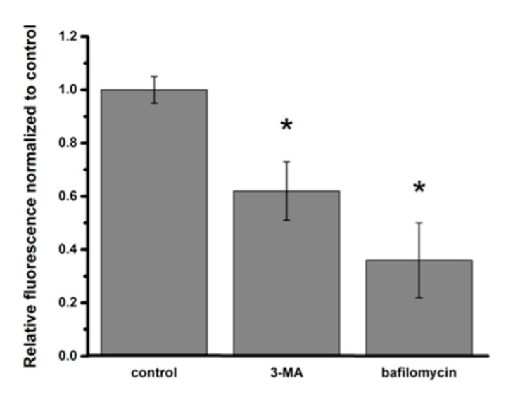 Effects of autophagy inhibitors on intracellular PNP content in A549 cells at 24 h post-exposure to PNP. Intracellular PNP content in A549 cells was reduced by 38% and 64%, respectively, when autophagosome formation was inhibited with <t>3-methyladenine</t> (3-MA) or autophagosome-lysosome fusion was inhibited with bafilomycin. Data are normalized to control. * p