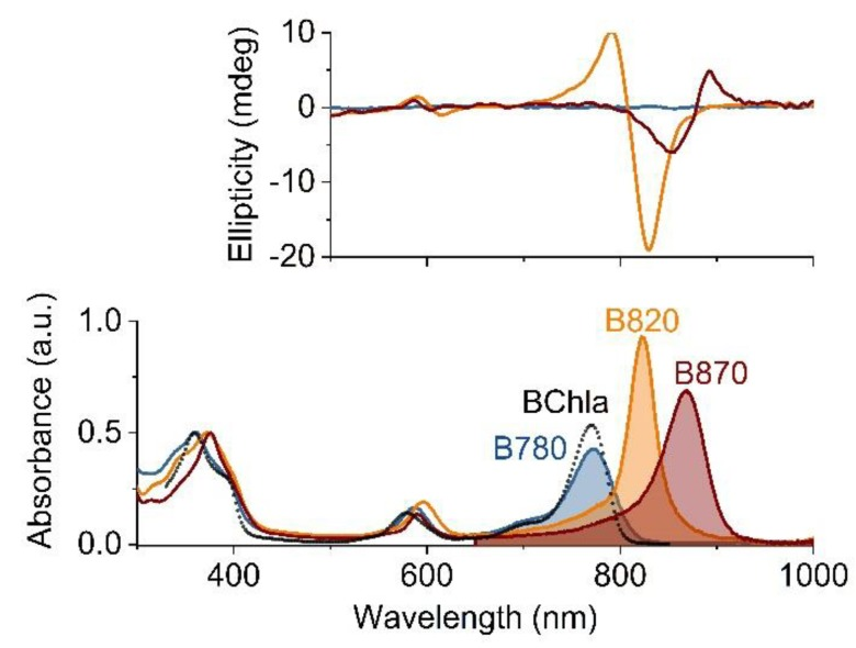The electronic absorption (lower panel) and circular dichroism (upper panel) spectra of the B780 (blue), B820 (orange) and B870 (dark pink) oligomeric forms of LH1 in 5%, 1% and 0.4% aqueous <t>β-OG,</t> respectively, recorded at room temperature. The absorption spectra were normalized to the maximum of the Soret band whereas the circular dichroism spectra to the absorption intensity of the Q Y maximum. For comparison, also the absorption spectrum of monomeric bacteriochlorophyll a (BChl a ) in acetone is shown (black dotted line). The shaded areas denote the integrated intensities of the Q Y transitions.