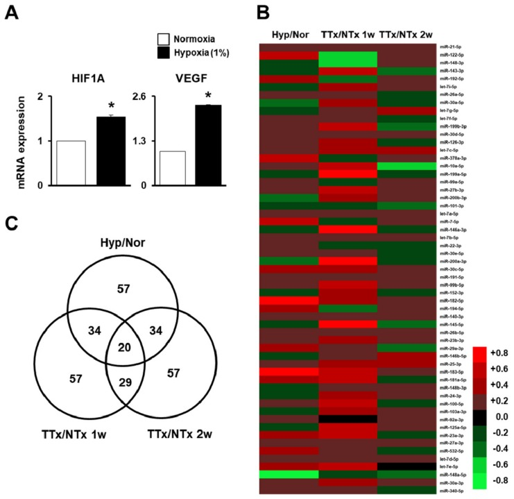 MicroRNA (miRNA) profiling of migrated naïve placenta-derived mesenchymal stem cells (PD-MSCs) under hypoxic conditions and in bile duct ligation (BDL)-injured liver in rats. ( A ) Messenger RNA (mRNA)expression of hypoxia-inducible factor 1 alpha (HIF-1α) and vascular endothelial growth factor (VEGF) in migrated naïve PD-MSCs determined using a Transwell insert system under 1% hypoxic conditions for 24 h, as determinedby quantitative real-time polymerase chain reaction (qRT-PCR). ( B ) Heat map and ( C ) Venn diagram of the microarray results ofmigrated naïve PD-MSCs under hypoxic conditions compared with normoxic conditions (Hyp/Nor), transplanted naïve (TTxNaïve) compared to NTx at one week (TTx/NTx 1w), and TTx Naïve compared to NTx at two weeks (TTx/NTx 2w). qRT-PCR runs were conducted in at least triplicate. Data from each group are shown as means ± SD, determined by Student's t -test; * p