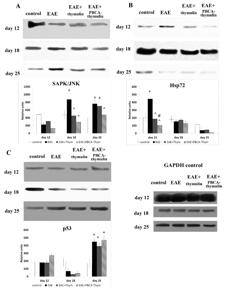 Effects of PBCA–thymulin on stress-related intracellular systems in cells from rEAE mice. Phosphorylation of SAPK/JNK ( A ) and p53 ( C ), and expression of Hsp72 ( B ) in splenic lymphocytes of treated and untreated mice throughout the course of disease. Animal groups: untreated mice (rEAE), rEAE mice treated with PBCA–thymulin (rEAE + PBCA–thymulin), and age-matched controls. Protein levels were measured in spleen lymphocytes. Equal amounts (10 μg) of protein were analysed at different times after immunisation (day 0) by Western blot analysis using corresponding antibodies. Histograms show the amount of protein (± SEM) relative to that of total SAPK/JNK, or p53, and internal GAPDH control (not shown), and are the results of protein blot densitometry measurements by QAPA software from three independent experiments. * Significantly different from the control group, p