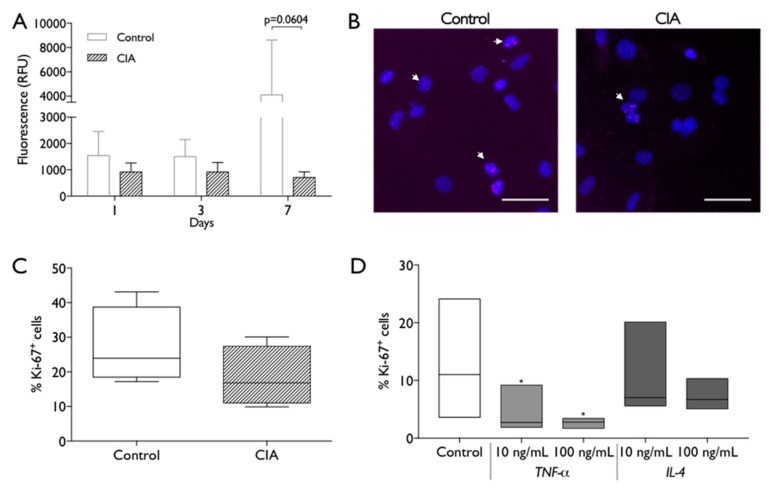 <t>MSC</t> metabolic activity and proliferation capacity. ( A ) Metabolic activity was measured at 1, 3 and 7 days of MSC culture by resazurin assay. RFU: relative fluorescence units. Statistical differences were evaluated by 2-way ANOVA followed by Turkey's multiple comparison test ( B ) Representative images of nuclei (Dapi, blue) and Ki-67 immunostaining (pink, white arrows) of control and CIA-derived MSC after 2 days in culture. Scale bar: 50 µm. ( C ). Percentage of Ki-67 + control and CIA-derived MSC, across different experiments. Statistical differences were evaluated by Mann–Whitney test. ( D ) Percentage of Ki-67 + control- derived MSC after 2 days in absence/presence of 10 ng/mL or 100 ng/mL of <t>TNF-α</t> or IL-4. Box plots represent min-to-max distribution of n = 4 to 5 animals per group. * p