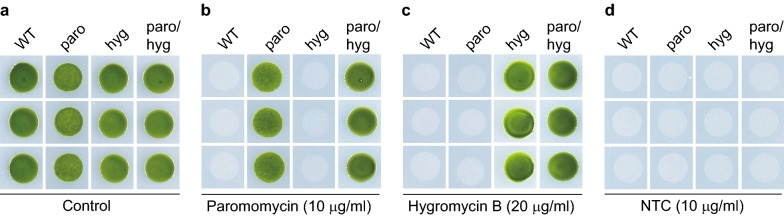 No cross-resistance to NTC in strains with paromomycin and/or hygromycin B resistance. Wild type (WT) cells and transgenic strains with resistance to paromomycin, hygromycin B or both were grown for 4 days on TAP agar plates without antibiotics ( a ) or supplemented with paromomycin ( b ), hygromycin B ( c ) or NTC ( d ). paro, paromomycin resistant strains; hygro, hygromycin B resistant strains; paro/hygro, paromomycin and hygromycin B double resistance strains. Data shown are representative of three experiments