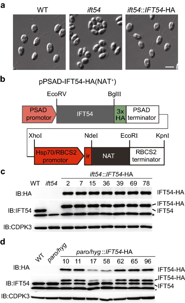 NAT as a selectable marker that is compatible with paromomycin and/or <t>hygromycin</t> B resistant genes. a Differential interference contrast (DIC) images showing wild type cells, ift54 mutant and rescued cells. Please note that ift54 did not have flagella and flagellar formation was rescued in IFT54- HA expressing cells. Bar, 10 μm. b A diagram showing construct that harbors expression cassettes of IFT54 -HA and NAT . c Expression of IFT54- HA in strains harboring paromomycin resistant gene by using NAT as a selectable marker. The construct listed above was transformed into ift54, which harbors paromomycin resistant gene . The transformants were selected on agar plates supplemented with 10 µg/ml NTC. Cell lysates from randomly picked transformants were subjected to immunoblotting using the indicated antibodies. CDPK3 was used as a loading control. *Denotes non-specific bands. Wild type (WT) and ift54 cells were used as control. d Expression of IFT54- HA in strains harboring paromomycin and hygromycin B resistant genes by using NAT as a selectable marker. wdr92 ::WDR92-YFP strains with both paromomycin and hygromycin B resistant genes were transformed. The expression of IFT54- HA from cells grown on selection plate was examined by immunoblotting. WT and wdr92 ::WDR92-YFP (paro/hygro) cells were used as control
