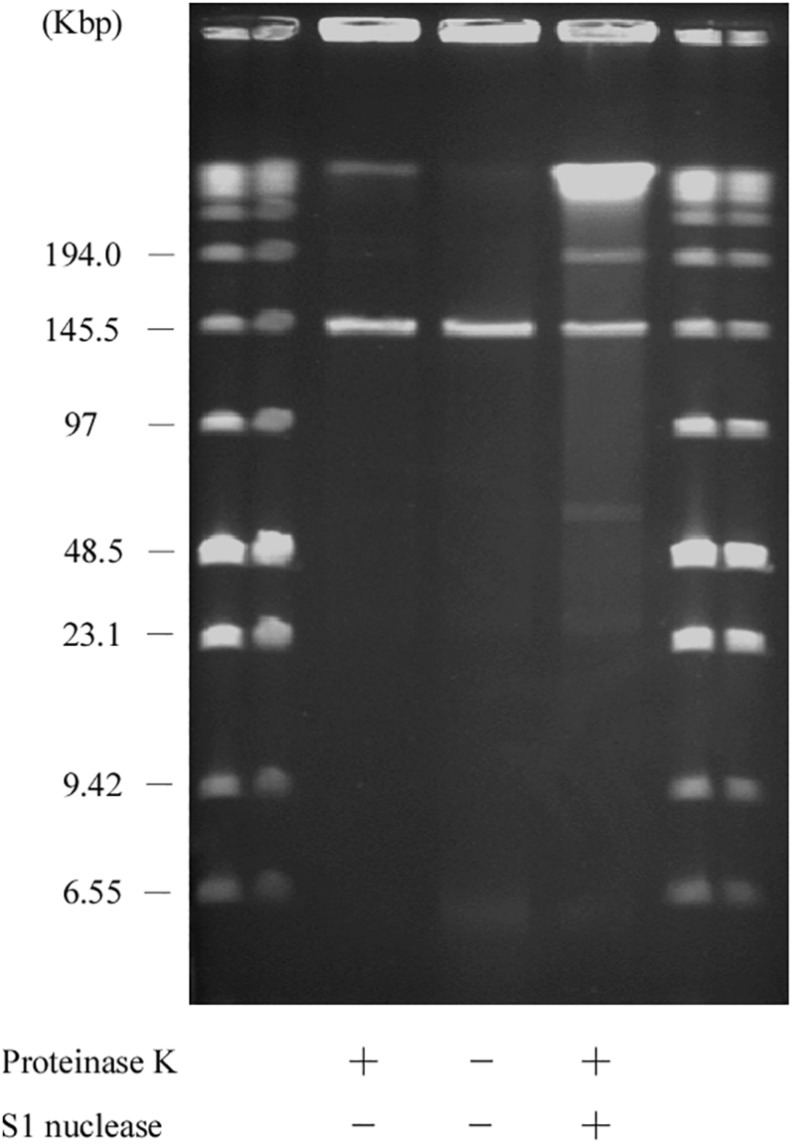 SDS-PFGE of the AA708 strain. Lanes: Low Range PFG Marker; AA708 with proteinase K treatment; AA708 without proteinase K treatment; AA708 with proteinase K and S1 nuclease treatment.
