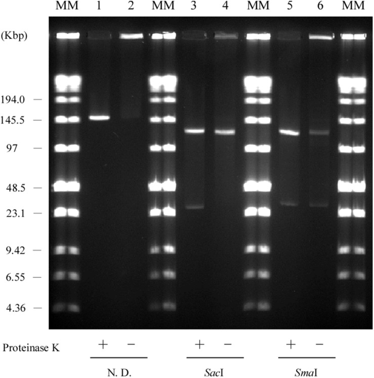 Retardation assay of pELF1 DNAs excised from PFGE or SDS-PFGE gels. DNA bands of pELF1 were excised from PFGE gel (proteinase K treatment +) or SDS-PFGE gel (proteinase K treatment –), and digested  with  Sac I (lanes 3 and 4), and  Sma I (lanes 5 and 6). After digestion, the samples were subjected to PFGE. MM, Low Range PFG Marker; 1, pELF1 excised from PFGE gel; 2, pELF1 excised from SDS-PFGE gel; 3,  Sac I-treated pELF1 excised from PFGE gel; 4,  Sac I-treated pELF1 excised from SDS-PFGE gel; 5,  Sma I-treated pELF1 excised from PFGE gel; 6,  Sma I-treated pELF1 excised from SDS-PFGE gel. N. D.; not digested.
