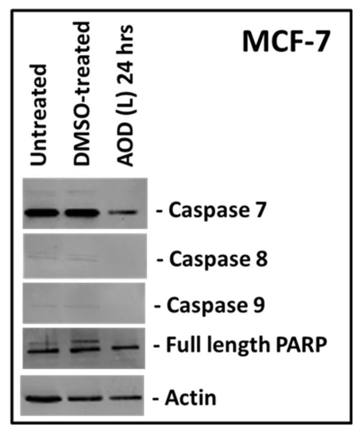 Western blot analysis of MCF-7 cells treated with A. orientalis dichloromethane leaf fraction (AOD (L)) at 250 µg/mL and tested for the activation of caspases 7, 8 and 9, and poly ADB ribose polymerase (PARP). Actin antibody was used as a loading control. DMSO-treated, DMSO control having the same amount of DMSO as the test sample.