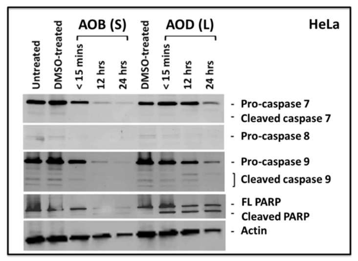 Western blots of HeLa cells treated with 250 µg/mL of A. orientalis n -butanol stem (AOB (S)) or dichloromethane (AOD (L)) leaf fractions for the indicated time points and tested for the activation of caspase 7, 8, and 9, as well as poly ADB ribose polymerase (PARP). FL, full length. DMSO-treated, DMSO control having the same amount of DMSO as the test sample.