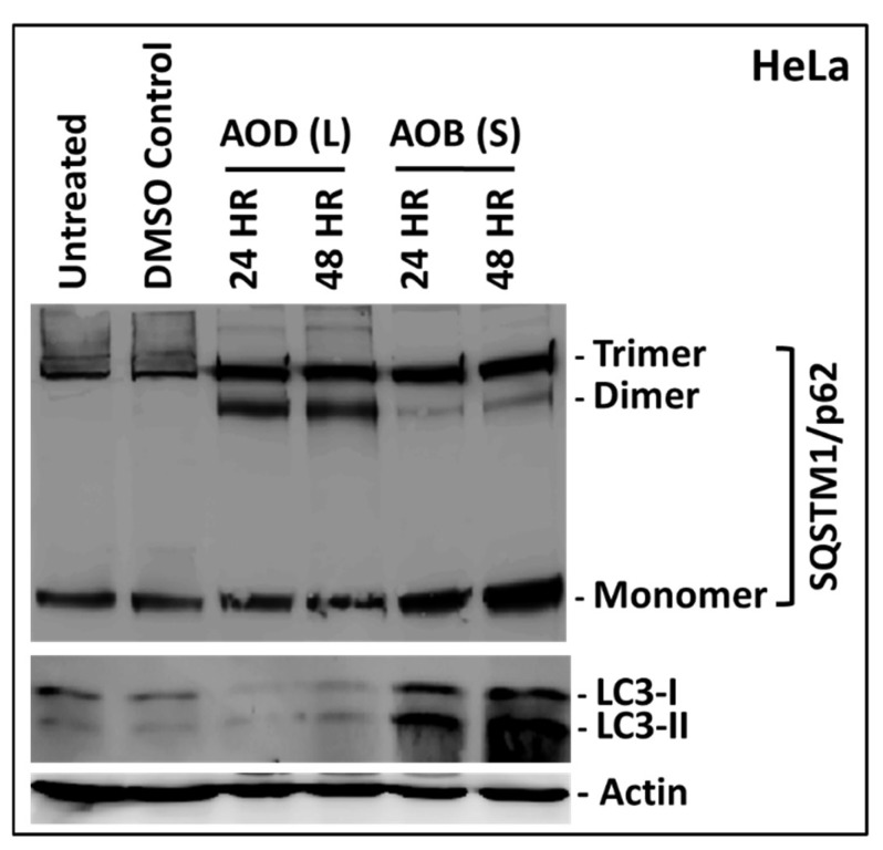 Western blot analysis of HeLa cells treated with 250 µg/mL of A. orientalis dichloromethane leaf (AOD (L)) or n -butanol stem fractions (AOB (S)) for 24 and 48 h. Actin antibody was used as a loading control. Different oligomeric forms of SQSTM1 were observed on the gel, that have been indicated on the side. DMSO C, DMSO control having same amount of DMSO as the test treated sample.