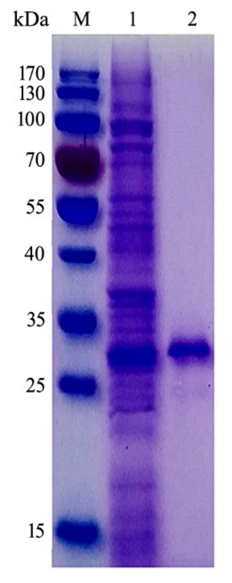 Dodecyl sulfate-polyacrylamide gel electrophoresis (SDS-PAGE) analysis of purified CsnB. M, molecular marker; 1, crude enzymes; 2, purified CsnB. The molecular weight of purified CsnB (theoretical molecular: 30.89 kDa) after Ni-NTA sepharose column was measured to be about 30 kDa by SDS-PAGE.