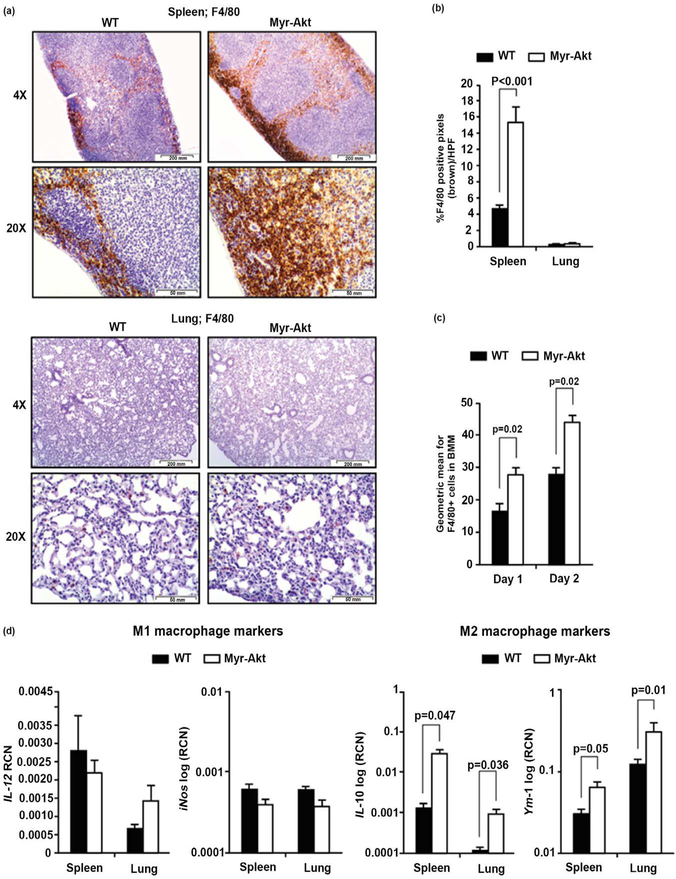 Myr-Akt mice demonstrate increased F4/80+ macrophages in the spleens and a M2 macrophage bias in the lungs. 6 – 8 week old Myr-Akt or WT mice were sacrificed and (a, top ) spleens and (a, bottom ) lungs were harvested, paraffin embedded, and subjected to F4/80 immunohistochemical staining for macrophages. Ten pictures per section were imaged using 4X and 20X objectives (40× and 200× magnification, respectively). (b) Images were quantified using histogram analysis feature in Adobe Photoshop CS5 software for percent brown stain (F4/80+ pixels) per high-power field (HPF) and expressed as mean ± SEM. (c) BMMs were generated from Myr-Akt or WT littermate mice with recombinant murine (rh)CSF1 (20 ng/ml). Cells were removed using Accutase one and two days after seeding the progenitor cells (day 0). Cell surface antigen expression of F4/80 was assessed by flow cytometry. Data presented are the average geometric mean for F4/80 expression ± SEM. (d) Total <t>RNA</t> was extracted from lung and spleen using <t>TRIzol</t> and cDNA synthesized from 1 μg RNA for quantitative real-time (qRT)-PCR using primers specific for mouse IL 12, iNos , IL 10, or Ym 1. Data are expressed as relative copy number (RCN) (d, left ) IL 12 and iNos mRNA, or (d, right ) IL 10 mRNA and Ym 1 mRNA expression over the mean of endogenous control RNAs ( Cap1 , Rpl 4 and Gapdh) . Data represents the mean RCN ± SEM. 5 pairs of age-matched littermate mice were used for each experiment.
