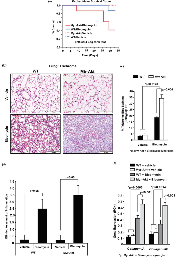 Bleomycin induces collagen deposition in the lungs and reduces survival in Myr-Akt mice. Myr-Akt and wild type (WT) littermate mice were treated twice a week with bleomycin (0.035 U/g) or PBS (vehicle) for 4 weeks, as described in Material and Methods. (a) Mouse survival was recorded and plotted using a Kaplan-Meier curve. Myr-Akt mice had worse survival than WT mice in response to bleomycin treatment. N = 7 mice for each WT and Myr-Akt mouse group. (b) All surviving mice were sacrificed at day 33 and the lungs formalin-fixed, sectioned, and stained with Masson's Trichrome. Five images per slide were captured. Red staining represents keratin, light red and pink staining represents cytoplasm, dark brown represents cell nuclei, and blue staining represents collagen. The images are representative images from 3 mice per group using a 20X objective (200× magnification). (c) The images were quantified blindly by histogram analysis using Adobe Photoshop CS and the percent of blue staining per high-power field (HPF) from ten images and expressed as mean ± SEM. (d) Lungs from WT and Myr-Akt mice subjected to PBS or bleomycin stained with H E, Trichrome, and F4/80 were evaluated by a board-certified pathologist for inflammation score (0 to 5 point scale). (e) Total RNA was extracted from homogenized lung tissue using TRIzol. cDNA was synthesized and qRT-PCR performed for mouse collagen IA and IIIB. Data are expressed as mean relative copy number (RCN) of mRNA expression over average endogenous control RNAs ( Cap 1, Rpl 4 and Gapdh ). Data represents the mean RCN ± SEM and N = 4 mice per group.