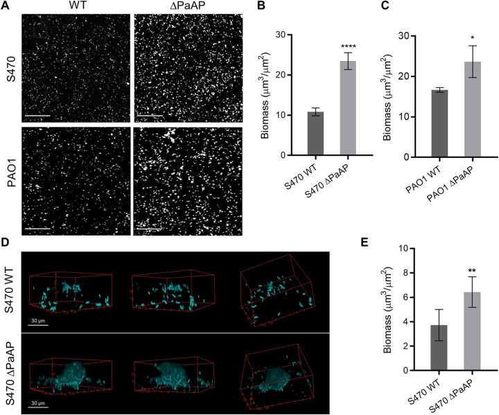 Deletion of the PaAP aminopeptidase increased the density, biomass, and organization of bacterial biofilms on host cells. (A) S470 and PAO1 WT and ΔPaAP strains were inoculated onto confluent A549 cell layers, and images were taken at ×10 magnification at 5 hpi. (B and C) The images from panel A were quantified. (D and E) For cocultures as described for panel A, images of microcolonies were taken using ×100 magnification at 5 hpi (D) and quantified (E). For all experiments, representative results are shown. Quantified bacterial biomasses in each set of cocultures were compared. *, P