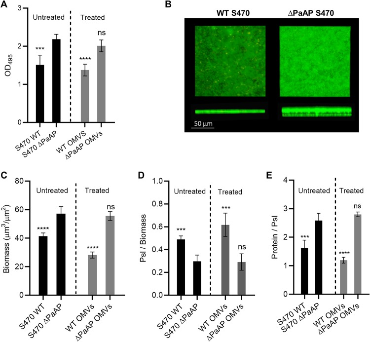 PaAP deletion modifies pellicle cellular biomass and matrix composition, and WT OMV treatment complements these phenotypes. Untreated: (A) S470 WT or S470 ΔPaAP was grown in 35-mm dishes for 6 h, and pellicle biofilms were quantified by crystal violet staining (OD 495 ). (B and C) Pellicles formed by S470 WT or S470 ΔPaAP after 6 h of growth were live/dead stained (B) and imaged by confocal microscopy (C), and their biomass was calculated. (D and E) Pellicles were stained for matrix Psl (D) and total protein (E), and the results were quantified and normalized to cellular volume and Psl volume, respectively. Treated: (A and C to E) ΔPaAP pellicles were treated at 1 hpi with S470 WT or ΔPaAP OMVs and imaged at 5 hpi. Untreated WT and treated ΔPaAP pellicles were stained as described above and quantified, and values were compared to untreated ΔPaAP pellicles. *, P