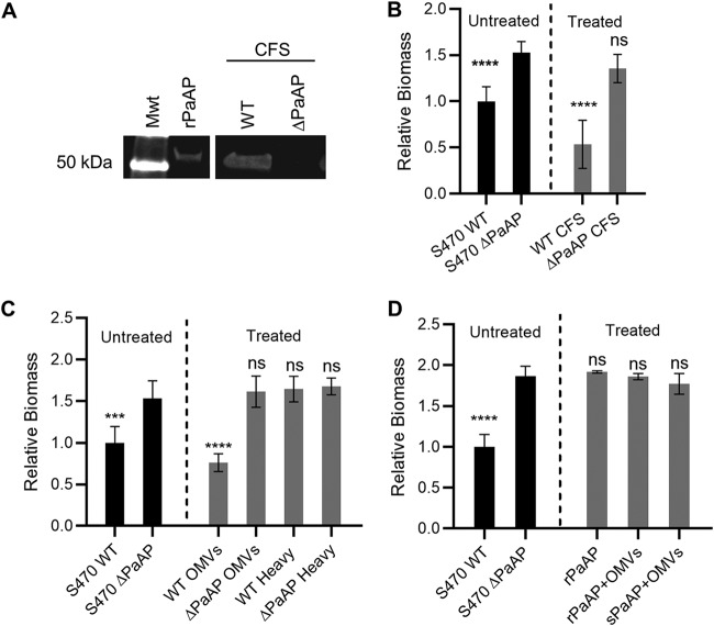 Addition of PaAP + OMVs inhibits formation of P. aeruginosa coculture biofilms. (A) Cell-free supernatants (CFS) from S470 WT and S470 ΔPaAP cultures were TCA precipitated, and PaAP was detected by immunoblotting after separation of samples by SDS-PAGE. The relative migration of rPaAP and the 50-kDa molecular weight standard (Mwt) are shown. Samples were run on the same gel, and an intervening lane was excised in this figure. (B to D) S470 ΔPaAP biofilms cocultured with A549 cells were treated with CFS S470 WT or ΔPaAP at 1 hpi (B), with either light (OMVs) or dense (heavy) fractions from S470 WT or S470 ΔPaAP CFS (C), or with rPaAP, rPaAP with ΔPaAP OMVs, or sPaAP with ΔPaAP OMVs (D). The biomasses of these treated biofilms and the S470 WT untreated control were quantified at 5 hpi and were compared with untreated S470 ΔPaAP biofilms. *, P