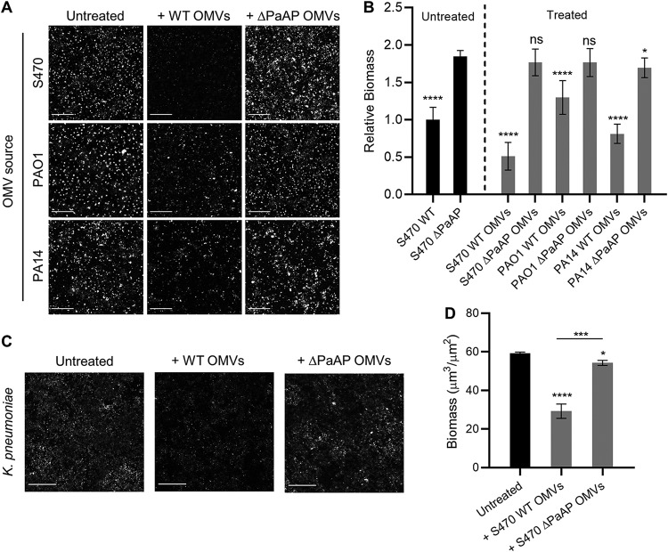 PaAP + OMVs cause biofilm detachment in both pseudomonads and nonpseudomonads. (A and B) OMVs from WT or ΔPaAP cultures of the indicated P. aeruginosa strains were added to S470 ΔPaAP biofilm cocultures at 4.5 hpi, 30 min prior to imaging (A), and these results were quantified (B). The biomasses of treated biofilms and the S470 WT untreated controls were quantified and were compared with untreated S470 ΔPaAP biofilms. (C and D) K. pneumoniae cocultures were treated with S470 WT or ΔPaAP vesicles at 4.5 hpi, and biofilm formation was assessed by Congo red staining at 5 hpi (C) and was quantified (D). The biomasses of treated K. pneumoniae biofilms were quantified and were compared with untreated biofilms. For all experiments, representative results are shown. *, P