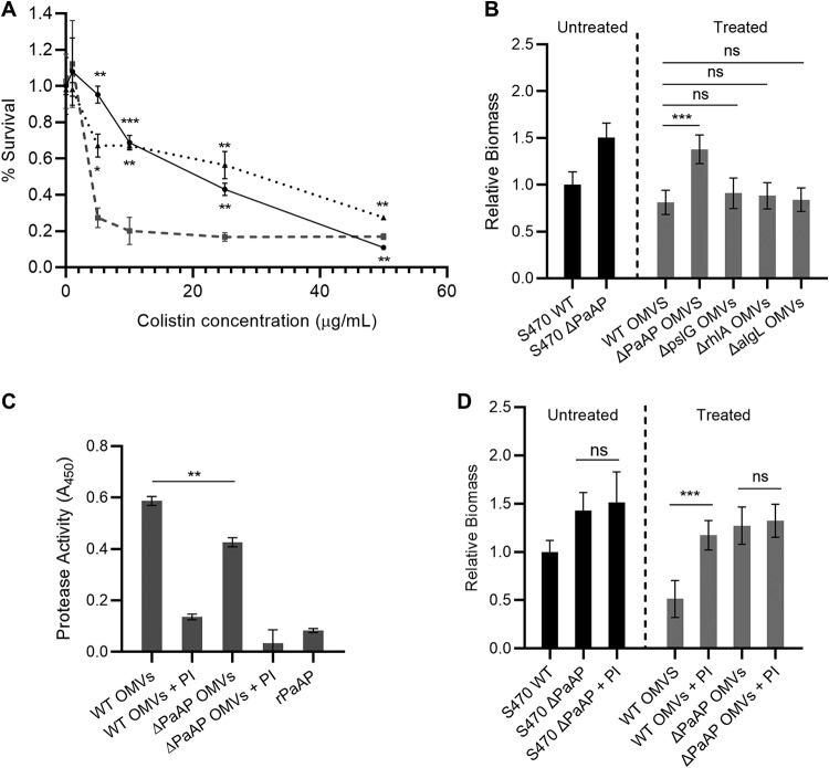 PaAP increases protease activity in OMVs, leading to cell detachment from biofilm microcolonies. (A) S470 ΔPaAP cocultures (solid line) were challenged with colistin at 3 hpi and examined for remaining biomass at 5 hpi. Additional S470 ΔPaAP cocultures were treated with S470 WT OMVs at 4.5 hpi, and the detached cells (dotted line) were collected at 5 hpi and challenged with colistin for 2 h. These samples were compared to planktonically grown S470 ΔPaAP cells (dashed line) challenged with colistin at 3 hpi with live/dead assessment at 5 hpi. (B) S470 ΔPaAP biofilm cocultures were treated with OMVs isolated from PA14 WT and the indicated PA14 transposon insertion mutants at 4.5 hpi, and the biomass was quantified at 5 hpi. The biomasses of treated biofilms and the S470 WT untreated control were quantified, and treated samples were compared to biofilms treated with S470 WT OMVs. (C) Protease activity was measured in the indicated S470 WT and ΔPaAP OMV preparations with and without protease inhibitor cocktail (PI) and for rPaAP. (D) S470 ΔPaAP biofilm cocultures were treated with the indicated S470 WT and ΔPaAP OMVs with and without PI at 4.5 hpi, and the resulting biomass was quantified at 5 hpi. The biomasses of treated biofilms, the S470 WT untreated control, and the S470 ΔPaAP biofilm incubated with PI were quantified, and samples were compared to the corresponding samples without PI. For microscopy-based experiments, representative results are shown. For all other experiments, n = 3. *, P