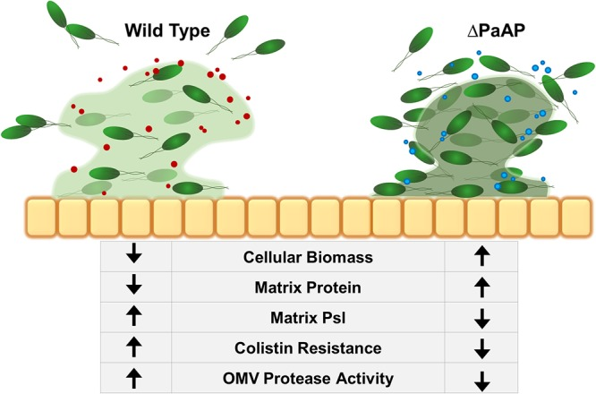 Summary of the effect of PaAP + OMVs on early biofilm development. During WT growth, bacterial microcolonies secrete PaAP + OMVs with increased endogenous protease activity. This leads to increased cell detachment from the colony structure and allows for increased matrix Psl polysaccharide production and protection for the cells against antibiotic treatment. Orange squares, A549 epithelial cells; green cells, P. aeruginosa cells; red circles, PaAP + OMVs; blue circles, ΔPaAP OMVs; green haze, matrix Psl. Darker matrix color indicates a higher concentration of protein.