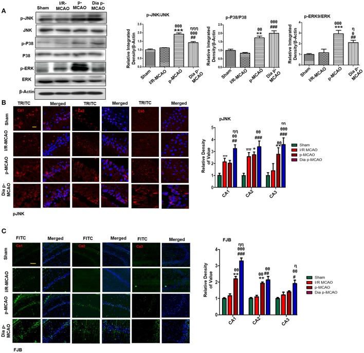 Ischemia induced cell stress and death related signaling changes (A) Representative Western blots of p-JNK, JNK, p-P38, P38, p-ERK, ERK. Densitometric analysis was expressed in relative to β-Actin ( n = 5/group). (B) Representative images of p-JNK immunoreactivity in CA1, CA2, and CA3 regions of hippocampus in I/R, p-MCAO and Dia p-MCAO group ( n = 5/group). scale bar = 100 μm. (C) Representative images of FJB histochemistry showing apoptotic cells; scale bar = 30 μm. Significant neuronal apoptosis in CA1, CA2 and CA3 region of hippocampus was observed in p-MCAO and Dia p-MCAO group ( n = 5/group). θ p