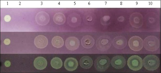 Antioxidant activity as elucidated by qualitative 2, 2-Diphenyl-1-picrylhydrazyl (DPPH) test using F 254 thin-layer chromatography silica coated-aluminum plates. (a) Color developed immediately after DPPH spray; (b) yellow spot appearing after 30 min., (c) yellow spot after 18 h. Lane 1 – ascorbic acid (+ve control); lane 2 – methanol (−ve control); lanes 3 and 4 – skim milk of indigenous hill cattle; lanes 5 and 6 – skim milk of Jersey crossbred cattle; lanes 7 and 8 – skim milk of Gaddi goat; lanes 9 and 10 – skim milk of non-Gaddi goats. Each spot was developed from 10 µl of samples.