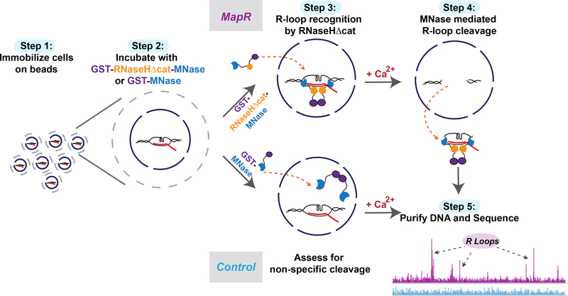 MapR, a Native and Antibody-Independent R-Loop Detection Strategy R-loop recognition and recovery by MapR. Step 1: cells are immobilized on concanavalin A beads and permeabilized. Step 2: equimolar amounts of a catalytic deficient mutant of RNase H fused to micrococcal nuclease (GST-RHΔ-MNase) or GST-MNase is added to immobilized cells. Step 3: the RHΔ module recognizes and binds R-loops on chromatin. Step 4: controlled activation of the MNase moiety by addition of calcium results in cleavage of DNA fragments in proximity to R-loops. Step 5: Released R-loops diffuse out of the cell; the DNA is recovered and sequenced.