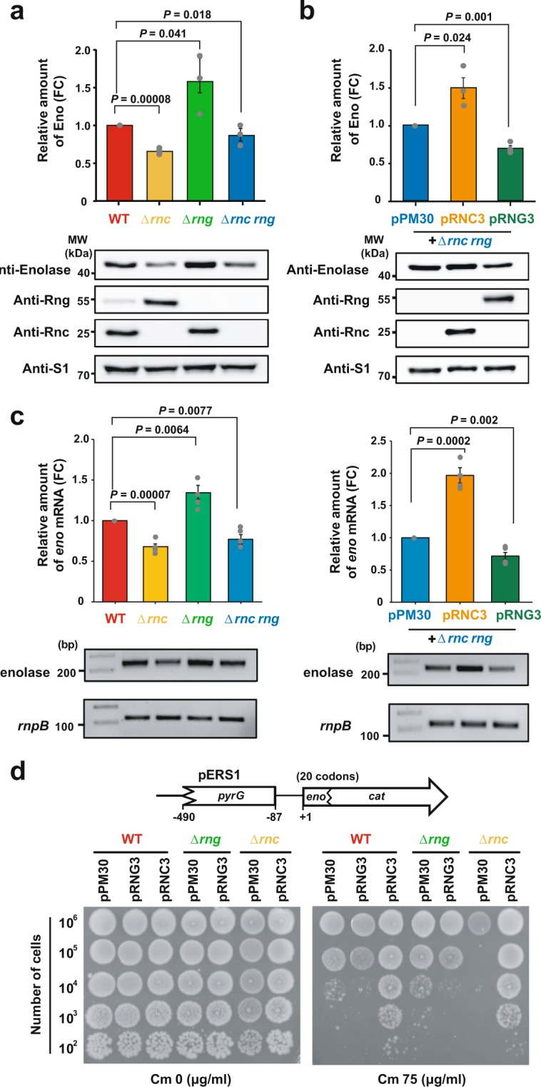 Regulation of Eno expression by RNase III and/or RNase G. (a) Effects of rnc and/or rng deletion on the expression level of eno . Escherichia coli MG1655 strains (WT, Δ rng , Δ rnc , and Δ rnc rng ) were grown in LB medium at 37 °C to mid-log phase and harvested for western blot analysis of Eno, Rng, and Rnc using protein-specific polyclonal antibodies. The expression levels of Eno, Rng, and Rnc were compared by setting those of WT to 1. (b) Independent modulation of Eno expression levels by RNase G and RNase III. Western blotting was performed as described for (a) using Δ rnc rng strains harbouring pPM30, pRNG3, or pRNC3. The expression levels of Eno, Rng, and Rnc were compared by setting those of Δ rnc rng harbouring pPM30 to 1. (c) Effects of rnc and/or rng deletion on the eno mRNA abundance. Total cellular RNA was extracted from cultures grown to an OD 600 of 0.6 using an RNeasy mini prep kit. The number of amplicons of enolase and other rnpB mRNA amplified from the cDNAs of the (left) WT, Δ rnc . Δ rng and Δ rnc rng strains (right) harbouring pPM30, pRNC3, or pRNG3. The eno mRNA expression levels were compared by setting those of WT or Δ rnc rng harbouring pPM30 to 1. PCR products were resolved in an 1.5% agarose gel. (d) Identification of the regulatory DNA region that affected the eno expression levels. Top: Schematic diagram of the eno-cat reporter. Bottom: Effects of RNase G and RNase III expression levels on the degree of chloramphenicol resistance of MG1655 cells. MG1655 WT, Δ rng , and Δ rnc cells harbouring pERS1 were transformed with pPM30, pRNG3 (RNase G), or pRNC3 (RNase III). The transformants were grown in LB containing 1 mM IPTG to an OD 600 of 0.6, diluted, and spotted on LB agar containing 0 (Cm 0) or 75 (Cm 75) μg ml −1 chloramphenicol. For (a,b) , the S1 protein was used as an internal standard to evaluate the amount of cell extract in each lane. For (c) , the rnpB mRNA was used as an internal standard to evaluate the amount of cell extract in