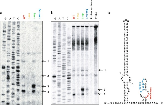 Identification of RNase cleavage sites in eno mRNA in vivo . (a) Primer extension analysis of the 5′ UTR of eno mRNA in vivo . Total RNA was isolated from MG1655 strains (WT, Δ rng , Δ rnc , and Δ rnc rng ) and hybridised with the 5′ end 32 P-labelled primer (eno + 52 R). Synthesised cDNA products were separated on a 6% polyacrylamide gel containing 8 M of urea. Sequencing ladders were synthesised with the same primers used for cDNA synthesis and PCR DNA encompassing the eno gene was used as a template. (b) S1 nuclease mapping. Total RNA was hybridised with the 5′ end 32 P-labelled DNA probe. The DNA: RNA complex was treated with 1 U of S1 nuclease and separated in denaturing gel as described above. (c) Predicted eno 5′ UTR secondary structure and RNase cleavage sites. The secondary structure was inferred using the M-fold program. RNase III (1, 2, 3, and 4) cleavage sites identified in (a) and (b) are indicated. The putative Shine–Dalgarno sequence and start codon are indicated as blue and red colours, respectively.