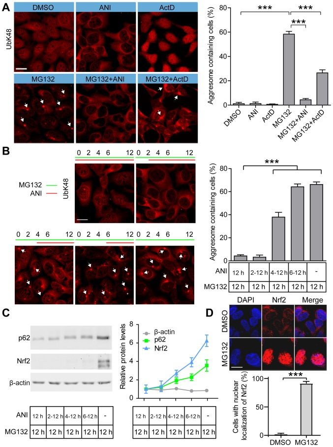 Inhibition of protein synthesis blocks proteasome inhibitor-induced aggresome formation. (A) Representative images and quantification of aggresomes in DMSO, MG132, MG132+ANI and MG132+ActD treated cells. 293 cells were treated with ANI (5 µg/ml), ActD (2 µg/ml) and/or MG132 (2 µM) for 12 h and stained with anti-UbK48 to visualize aggresomes (arrowheads); scale bar, 20 µm. (B) Representative images and quantification of aggresomes in cells treated with MG132 (2 µM) and/or ANI (5 µg/ml) for the indicated periods and aggresomes were stained with anti-UbK48 (arrowheads); scale bar, 20 µm. (C) Representative immunoblots and quantification of Nrf2 and p62 in cells treated by MG132 (2 µM) and/or ANI (5 µg/ml). (D) Representative images and quantification of Nrf2 in DMSO and MG132 treated cells. The 293 cells were treated with MG132 (2 µM) for 12 h and stained with anti-Nrf2 antibody to visualize the localization of endogenous Nrf2; DAPI was used to detect nuclei; scale bar, 20 µm. Data are presented as the mean ± SEM and were assessed using one-way ANOVA followed by Tukey's test. *** P