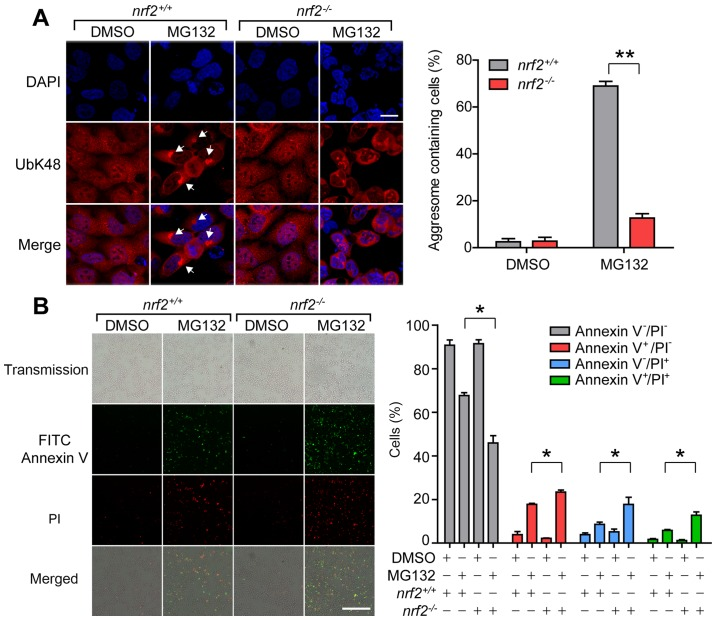 Loss of Nrf2 results in failure of proteasome inhibition-induced aggresome formation. (A) Representative images and quantification of aggresomes in nrf2 +/+ and nrf2 -/- cells after 14 h treatment with MG132 (2 µM). Anti-UbK48 was used to visualize aggresomes (arrowheads) and DAPI staining was used to detect nuclei; scale bar, 20 µm. (B) Representative images and quantification of nrf2 +/+ and nrf2 -/- cells stained with Annexin V (green) and PI (red) after 20 h treatment with DMSO or MG132 (2 µM). Live cells, Annexin V - PI - ; early apoptotic cells, Annexin V + PI - ; necrotic cells, Annexin V - PI + ; late apoptotic cells, Annexin V + PI + ; scale bar, 100 µm. Data are presented as the mean ± SEM representative of three independent experiments and were assessed using one-way ANOVA followed by Tukey's test. * P