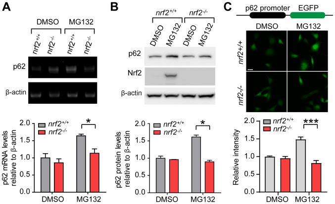 Transcriptional upregulation of p62 during proteasome inhibition is dependent on Nrf2. (A) Representative images and quantification of p62 mRNA in nrf2 +/+ and nrf2 -/- cells treated with DMSO or MG132 for 12 h. (B) Representative immunoblots and quantification of p62 levels in nrf2 +/+ and nrf2 -/- cells treated with DMSO or MG132 (12 h). (C) Representative images and quantification of EGFP expression driven by the p62 promoter in nrf2 +/+ and nrf2 -/- cells treated with DMSO or MG132 (12 h). Data are presented as the mean ± SEM representative of three independent experiments and were assessed using one-way ANOVA followed by Tukey's test. * P