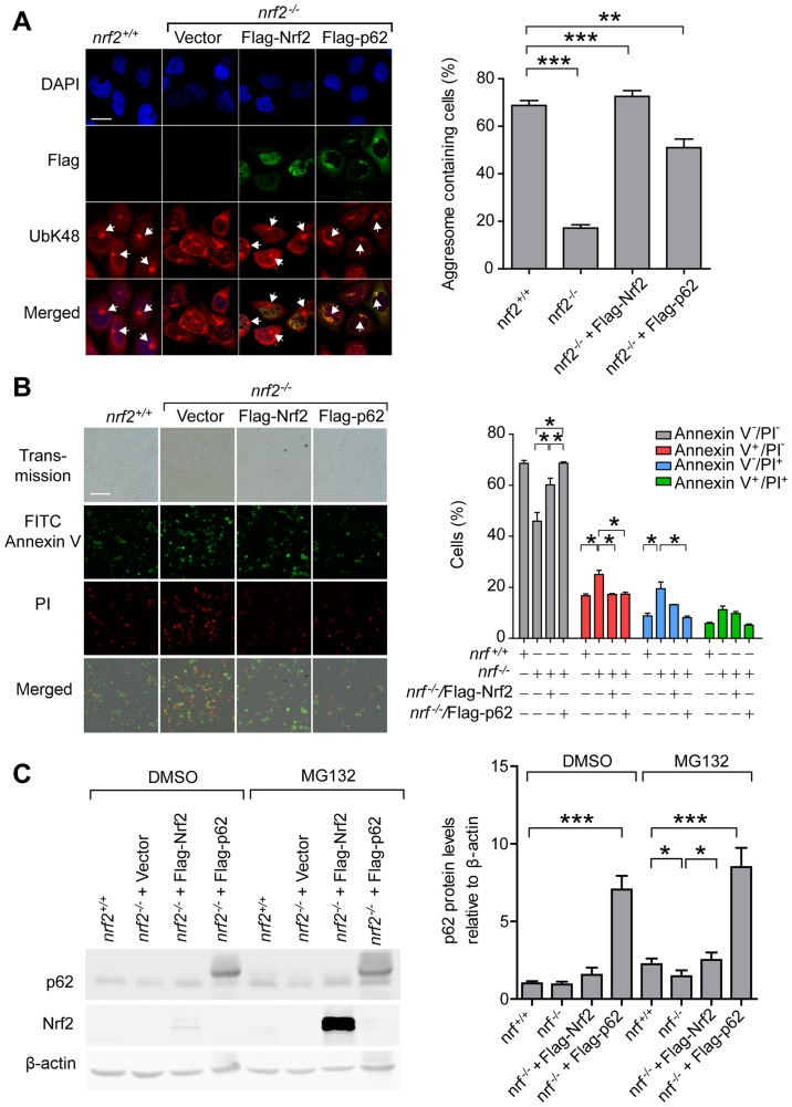 Expression of p62 rescues the defects of proteasomal stress response in Nrf2 knockout cells. (A) Representative images and quantification of aggresomes in nrf2 +/+ , nrf2 -/- [Vector], nrf2 -/- [Flag-Nrf2] and nrf2 -/- [Flag-p62] cells after 14 h treatment with MG132 (2 µM). Anti-UbK48 was used to visualize ubiquitin-containing aggresomes (arrowheads), anti-Flag was used to visualize exogenous Nrf2 and p62, and DAPI was used to detect nuclei; scale bar, 20 µm. (B) Representative images and quantification of nrf2 +/+ , nrf2 -/- [Vector], nrf2 -/- [Flag-Nrf2] and nrf2 -/- [Flag-p62] cells stained with Annexin V (green) and PI (red) after 20 h treatment with DMSO or MG132. Live cells, Annexin V - PI - ; early apoptotic cells, Annexin V + PI - ; necrotic cells, Annexin V - PI + ; late apoptotic cells, Annexin V + PI + ; scale bar, 100 µm. (C) Representative immunoblots and quantification of p62 and Nrf2 levels in nrf2 +/+ , nrf2 -/- [Vector], nrf2 -/- [Flag-Nrf2] and nrf2 -/- [Flag-p62]. Data are presented as the mean ± SEM representative of three independent experiments and were assessed using one-way ANOVA followed by Tukey's test. * P