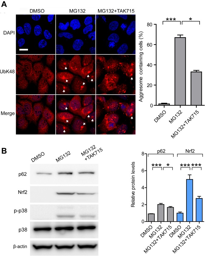 MAPK/p38 inhibitor attenuates aggresome formation through Nrf2-mediated transcriptional activation. (A) Representative images and quantification of aggresomes in DMSO, MG132 or MG132+TAK715 treated cells (12 h). Anti-UbK48 was used to visualize aggresomes (arrowheads) and DAPI was used to detect nuclei; scale bar, 20 µm. (B) Representative immunoblots and quantification of Nrf2 and p62 in treated cells. Data are presented as the mean ± SEM representative of three independent experiments and were assessed using one-way ANOVA followed by Tukey's test. * P