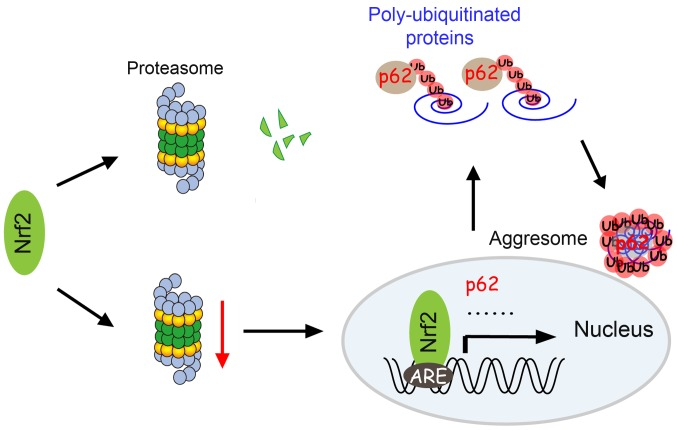 Schematic model for the induction of aggresome formation by NRF2 during proteasome inhibition. Under physiological conditions, Nrf2 is degraded by the Ub proteasome system. In cells with reduced proteasome activity, Nrf2 is stabilized and accumulates in the nuclei. Through transcriptional activation of p62, Nrf2 promotes aggresomes formation. Through functioning as a sensor of cytosolic proteasome activity and an activator of aggresome formation, Nrf2 alleviates cell damages caused by proteasomal stress. Nrf2, nuclear factor erythroid 2-related factor 2; ARE, antioxidant response elements; Ub, ubiquitin.