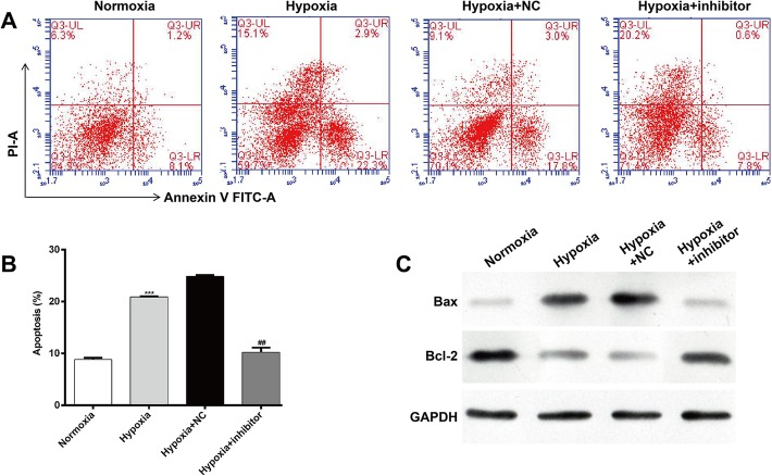 Inhibition of miR-30b-5p suppresses hypoxia-induced apoptosis in cardiomyocytes. a Representative captures of flow-cytometric data demonstrating the percent early apoptosis (Annexin V+/PI-) and late apoptosis (Annexin V+/PI+) in AC16 cells grown under normoxia or hypoxia with or without miR-30b-5p inhibitor. b Quantitation of A. c Protein expression of Bax and Bcl-2 was detected by western blot analysis in AC16 cells grown under normoxia or hypoxia with or without miR-30b-5p inhibitor. GAPDH was used as an internal control. *: hypoxia vs. normoxia; #: hypoxia + inhibitor vs. hypoxia + NC; *** p