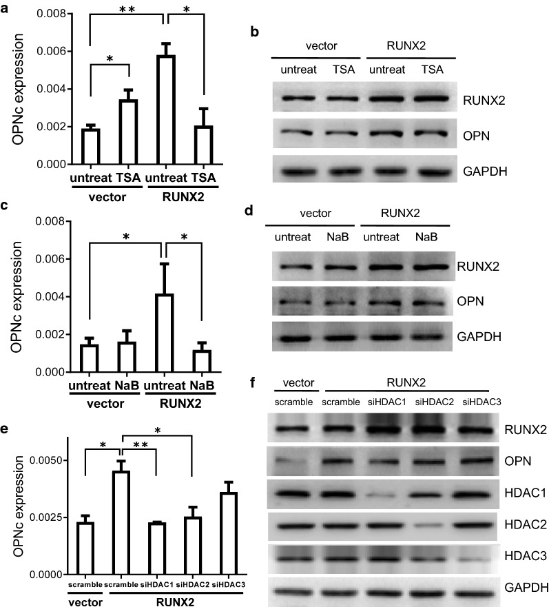 RUNX2 dependent OPNc splicing required normal activities of HDAC1 or HDAC2. a Treatment of A549 cells with HDACs inhibitor TSA suppressed OPNc splicing induced by RUNX2 overexpression. b Western blot of RUNX2 and OPN in RUNX2 overexpressed A549 cells following TSA treatment. c Inhibition of HDAC1 activity by NaB deprived RUNX2 induced OPNc splicing. d Western blot of RUNX2 and OPN in RUNX2 overexpressed A549 cells treated with NaB. e Knockdown of HDAC1 or HDAC2, but not HDAC3, decreased RUNX2-induced OPNc splicing. f Western blots of HDAC1, HDAC2 and HDAC3 from A549 cells transfected with the targeted siRNAs