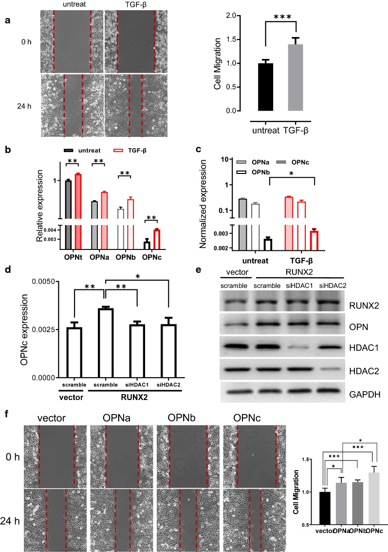 TGF-β induced OPNc expression enhanced the mobility of SK-MES-1 cells with a dependence to HDACs. a TGF-β treatments for 48 h increased the invasiveness of SK-MES-1 cells. b TGF-β induction increased OPNt and OPN-SIs levels with a preference to OPNc. c TGF-β promoted OPNc splicing with most significance in SK-MES-1 cells. d Knockdown of HDAC1 or HDAC2 significantly decreased the RUNX2-induced OPNc splicing. e The HDAC1 and HDAC2 expression were markedly reduced in the SK-MES-1 cells transfected with the targeted siRNAs. f Overexpression of OPN-SIs significantly promoted the migration of SK-MES-1 cells
