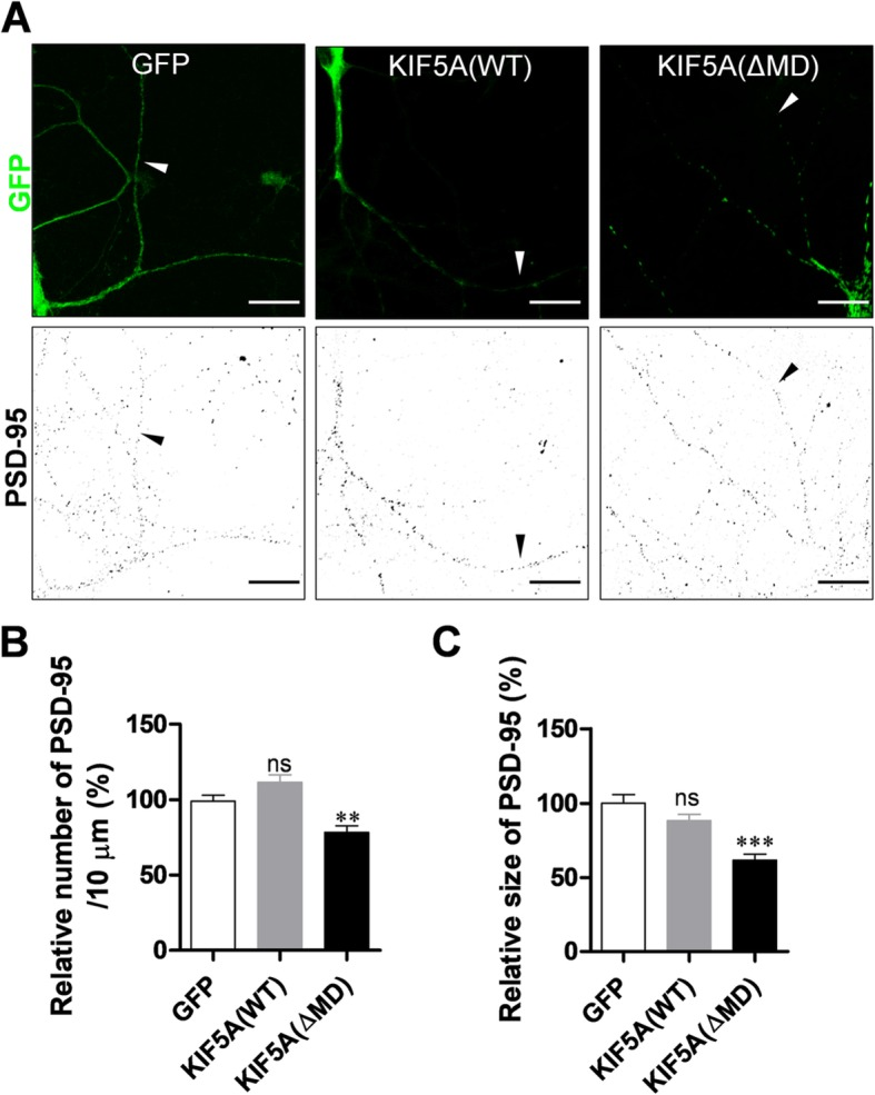 Expression of KIF5A ΔMD mutant reduces the number and average size of PSD-95 particles in dendrites. Cultured rat hippocampal neurons were infected with Sindbis viruses encoding GFP, GFP-KIF5A (WT), or GFP-KIF5A (ΔMD), incubated for 9 h, and immunostained with monoclonal anti-PSD-95 antibody. a Representative images of infected neurons. Scale bar: 20 μm. b ΔMD expression significantly reduces the number of PSD-95 particles (GFP: 100.00% ± 3.88%, n = 31 dendrites, 3417 μm; KIF5A [WT]: 111.70% ± 4.91%, n = 31 dendrites, 3724 μm; KIF5A [ΔMD]: 78.48% ± 4.23%, n = 29 dendrites, 3287 μm; Kruskal–Wallis test: P