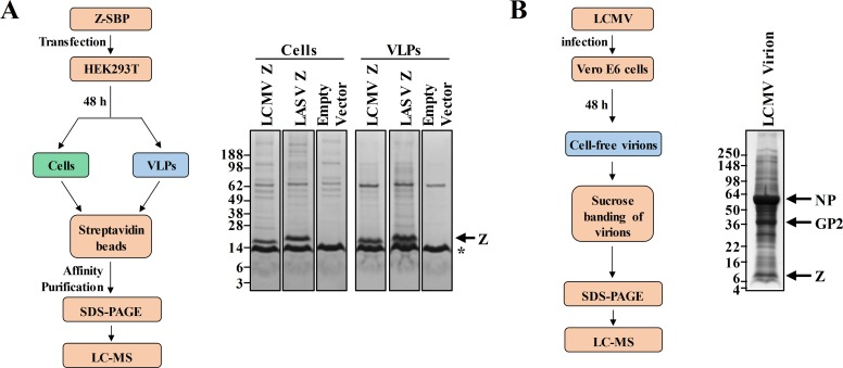 Identification of host proteins that interact with the LCMV and LASV Z matrix proteins or are packaged into LCMV virions. (A) The flow diagram depicts the affinity purification- and mass spectrometry-based approach used to identify human protein partners of LCMV or LASV Z proteins. HEK293T cells were transfected with a plasmid encoding LCMV or LASV Z with a C-terminal streptavidin binding peptide (SBP) tag or an empty vector. Z and its human protein binding partners were affinity purified from cell lysates or cell-free virus-like particles (VLPs) using magnetic streptavidin beads and the captured protein complexes were separated by protein gel electrophoresis and processed for mass spectrometry as described in the Methods. The Coomassie-stained protein gel shown is representative of two independent experiments. (B) The flow diagram shows the sucrose banding- and mass spectrometry-based approach to detect host proteins in LCMV particles. Intact virions of LCMV strain Armstrong 53b produced in Vero E6 cells were sucrose-banded and then subjected to lysis followed by protein gel electrophoresis. The Coomassie stained gel, which was processed for mass spectrometry as described in the Methods, is shown and various viral proteins are indicated.