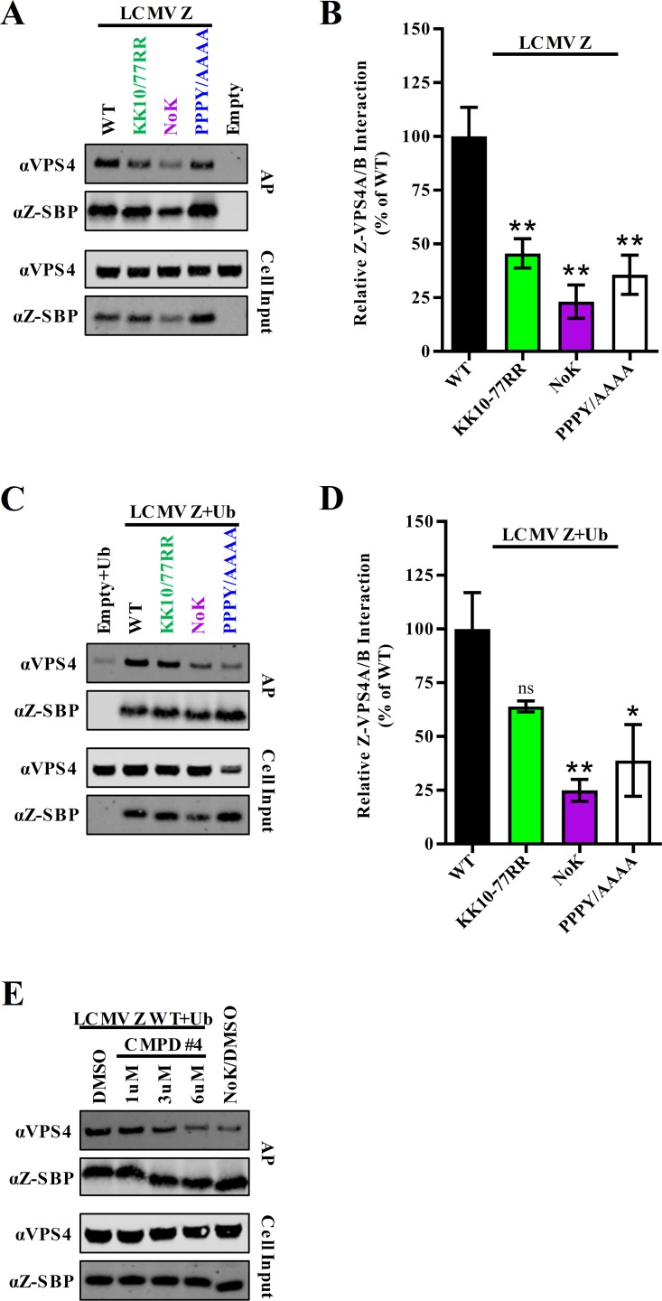 Efficient interaction of LCMV Z with the ESCRT protein VPS4 requires residues K10, K77, and the PPXY late domain. (A-B) HEK293T cells were transfected with an empty vector or a vector encoding SBP-tagged LCMV Z with the indicated mutations. Z was affinity purified using streptavidin beads and the purified Z (bait) and VPS4 (prey) were detected by western blotting. (B) The quantity of co-purified VPS4 in the fluorescent western blots in (A) was quantitated using Licor Image Studio software and divided by the quantity of affinity purified monomeric Z. (C-D) HEK293T cells were transfected with plasmids expressing HA-tagged ubiquitin and either an empty vector or a vector encoding SBP-tagged LCMV Z with the indicated mutations. Z was affinity purified using streptavidin beads and the purified Z (bait) and VPS4 (prey) were detected by western blotting as described in (A). (D) The quantity of co-purified VPS4 in the fluorescent western blots in (C) was quantified using Licor Image Studio software and divided by the quantity of affinity purified monomeric Z. (E) HEK293T cells were transfected with plasmids expressing HA-tagged ubiquitin and SBP-tagged WT or NoK LCMV Z and treated with the indicated doses of compound #4 or DMSO vehicle control. Z was affinity purified after two days and Z and VPS4 were detected by western blotting. The western blots shown are representative of three independent experiments. The graphs in (B) and (D) represent the mean values ± SEM of three independent experiments. A one-way ANOVA with Holm-Sidak's test for multiple comparisons was used to compare the mean values to the WT control in (B) and (D). *p