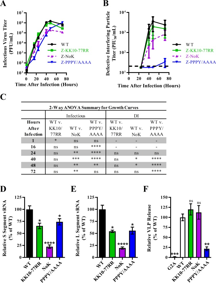 Loss of ubiquitination sites in LCMV Z has little impact on virus particle release. (A-B) Reverse genetics was used to generate recombinant (r)LCMV containing mutations at the two ubiquitination sites (K10 and K77) as well as a virus with a lysine-free (NoK) or a late domain-free (PPPY > AAAA) Z protein. The growth kinetics of these viruses were then measured by infecting A549 cells with these viruses and measuring the infectious titers by plaque assay (A) and DI particle titers by plaque interfering assay (B) at 1, 16, 24, 40, 48 and 72 hours after infection. (C) Summary of a two-way ANOVA with Holm-Sidak's test for multiple comparisons used to compare the log-transformed mean titer values from the growth curve in (A-B). (D-E) Viral RNA was isolated from clarified cell culture media from the 72 hours post-infection time point in (A-B) and the quantities of genomic S-segment (D) or L-segment (E) vRNA were determined by quantitative real time RT-PCR. (F) The release of virus-like particles (VLPs) from HEK293T cells transfected with plasmids expressing SBP-tagged LCMV Z protein with the indicated mutations was measured. The graphs in (A-B and D-F) represent the mean values ± SEM of three independent experiments with two technical replicates each. A one-way ANOVA with Holm-Sidak's test for multiple comparisons was used to compare the mean values to the WT control in (D-F). *p