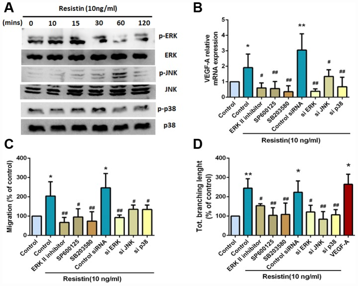 The MAPK signaling pathway is involved in resistin-promoted VEGF-A expression and contributes to angiogenesis. ( A ) Osteosarcoma 143B cells were incubated with resistin (10 ng/ml) for the indicated times, and ERK, JNK and p38 phosphorylation was determined by Western blot analysis. ( B ) Osteosarcoma 143B cells were pretreated with an ERKII inhibitor (10 μM), a JNK inhibitor (SP600125; 10 μM) and a p38 inhibitor (SB203580; 10 μM) for 30 min or transfected with ERK, JNK, and p38 siRNAs for 24 h, followed by resistin (10 ng/ml) stimulation for 24 h. VEGF-A expression was examined by qPCR. ( C – D ) Osteosarcoma 143B cells were pretreated with an ERKII inhibitor (10 μM), a JNK inhibitor (SP600125; 10 μM) and a p38 inhibitor (SB203580; 10 μM) for 30 min, or transfected with ERK, JNK and p38 siRNAs for 24 h, then stimulated with resistin (10 ng/ml) for 24 h. CM was collected and then applied to EPCs for 24 h. Cell migration and capillary-like structure formation in EPCs were examined by Transwell and tube formation assays, respectively. The results were obtained from three independent experiments. * p
