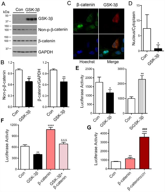 PME-1 expression is regulated by GSK-3β/β-catenin pathway. ( A , B ) HEK-293T cells were transiently transfected with GSK-3β. Levels of PME-1, β-catenin, GSK-3β, and Non-pS-β-catenin (dephosphorylated β-catenin at Ser33, Ser37 and Thr41) were analyzed by Western blots and normalized with GAPDH or corresponding proteins ( B ). ( C , D ) HA-tagged GSK-3β was overexpressed in HeLa cells and immuno-stained by polyclonal rabbit anti-β-catenin or mouse monoclonal anti-HA (GSK-3β) followed by florescence labeled anti-rabbit (green) or anti-mouse (red) second antibodies, respectively ( C ). The fluorescence levels of the nucleus and the cytoplasm were measured by IMAGE J and nucleus/cytoplasm ratio of β-catenin was analyzed ( D ). ( E ) pGL4/PME-1 -1000 were co-transfected with GSK-3β or siGSK-3β in HEK-293T cells. The luciferase activity was measured. ( F ) HEK-293T cells were co-transfected with β-catenin and/or GSK-3β with pGL4/PME-1 -1000 . The luciferase activity was measured. *: compared with control (Con). : compared with β-catenin. ( G ) The luciferase activity as measured. *: compared with control (Con), #: compared with β-catenin. Data are presented as mean ± SD (n=3), *P