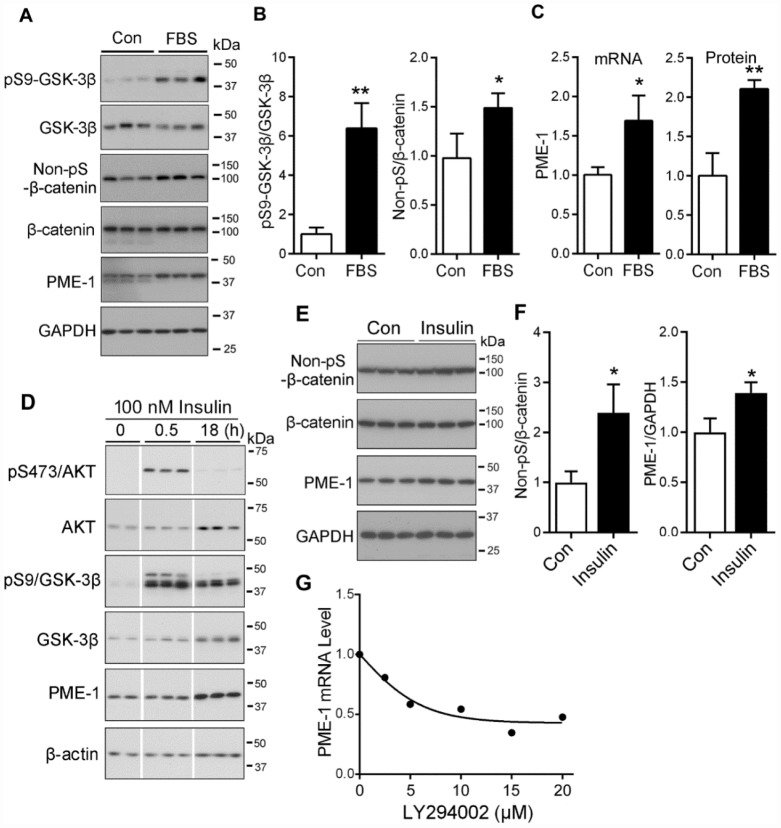 PI3K/AKT signaling upregulates the PME-1 expression through GSK-3β/β-catenin. ( A – C ) HEK-293T cells were transfected with β-catenin and cultured without Fetal bovine serum (FBS, as control, con) or with 2% FBS for 48 hr. The cell lysates were analyzed for total GSK-3β, β-catenin, PME-1 and the phosphorylation of β-catenin and GSK-3β by Western blots ( A ). Levels of phosphorylated β-catenin and GSK-3β were normalized with corresponding proteins ( B ). The mRNA level of PME-1 was measured by qPCR and normalized with GAPDH ( C ). The protein level of PME-1 was quantified from panel A and normalized with GAPDH. ( D ) SH-SY5Y cells were treated with 100 nM insulin for 0.5 hr or 18 hr and analyzed by Western blots developed with indicated antibodies. ( E , F ) Primary cortical neurons were treated with 100 nM insulin for 18 hr. The levels of β-catenin and PME-1 were analyzed by Western blots ( E ) and normalized with GAPDH ( F ). ( G ) Primary cortical neurons were cultured and treated with the indicated concentration LY294002 for 4.5 hr. The PME-1 mRNA level was measured by qPCR and normalized with GAPDH. Data are presented as mean ± SD (n=3); *P
