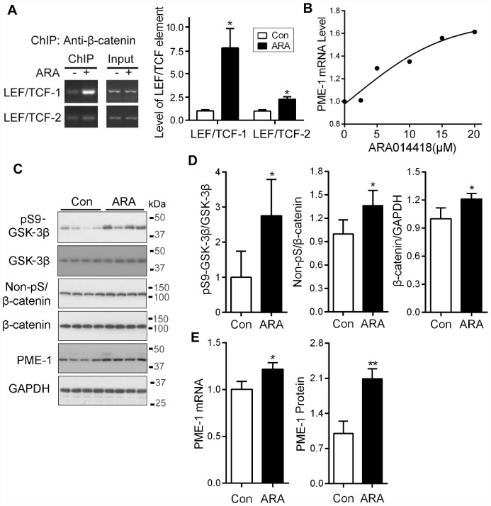 Inhibition of GSK-3β with ARA014418 enhances the interaction of β-catenin with LEF1/TCF elements and up-regulates PME-1 expression in cultured cells and in vivo. ( A ) SH-SY5Y cells were collected after ARA014418 (20μM) treatment for 4.5 hr, for ChIP assay using antibody to β-catenin. The two LEF1/TCFs were amplified by PCR with their specific primers. ( B ) Primary cortical neurons from embryonic day 18 SD rat were cultured and treated with the indicated concentration ARA014418 for 4.5 hr. The PME-1 mRNA level was measured by qPCR and normalized with GAPDH. ( C – E ) ARA014418 (5 mM 2 μl/mouse) was intracerebroventricularly injected into hTau transgenic mice for 48 hr. The cortex was homogenized and analyzed by Western blots developed with the indicated antibodies ( C ) or qPCR for PME mRNA ( E ). GAPDH was included as a loading control. Levels of phosphorylated β-catenin and GSK-3β were normalized with corresponding proteins ( D ). Data are presented as mean ± SD (n=4 or 5), *P