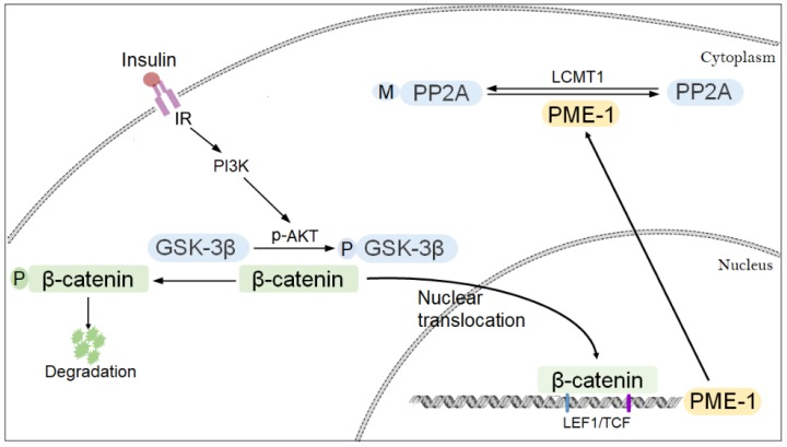 Proposed model of regulation of PME-1 expression by PI3K-GSK-3β signaling. Activation of PI3K signaling results in phosphorylation of GSK-3β and inhibition its activity in phosphorylating β-catenin. β-catenin translocates to nucleus and act as co-activator with LEF1/TCF to promote PME-1 expression, which catalyzes the demethylation of PP2Ac.