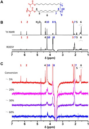 NMR characterization of MA-11-2-11-MA assembly before and after polymerization. ( A ) Schematic illustration of the proton number in MA-11-2-11-MA. ( B ) 1 H NMR spectra of MA-11-2-11-MA assembly in D 2 O at 65°C (top) and the corresponding ROESY spectra by the selective irradiation of proton H-9 (bottom). ( C ) ROESY spectra of MA-11-2-11-MA assembly by the selective irradiation of H-9 at increased conversion ratios of methacrylate groups. The conversion ratios were estimated from the FT-IR spectra.