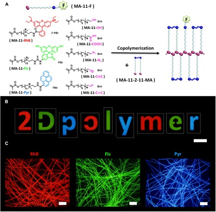 Functionalization of 2D net -poly(MA-11-2-11-MA). ( A ) Chemical structures of the monomeric derivatives (MA-11-F; F, various functional groups) and copolymerization with MA-11-2-11-MA. ( B ) Fluorescence films of net- poly(MA-11-2-11-MA)- co -(MA-11-F) (F = RhB, Fls, or Pyr) in number and letter shapes (scale bar, 500 μm). ( C ) Fluorescence microscope images of net- poly(MA-11-2-11-MA)- co -(MA-11-C≡C)–coated silica wool after post-polymerization functionalization with RhB-EO 4 -N 3 , Fls-EO 4 -N 3 , and Pyr-EO 4 -N 3 via click reactions (scale bars, 200 μm).