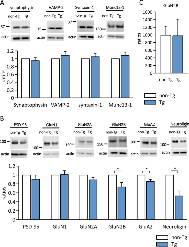 Immunoblot analysis of expression ratios of the pre and postsynaptic proteins in Aβ-GFP Tg and non-Tg mice synapse. ( A,B ) Synaptosome fractions from hippocampus (20 μg/lane) were immunoblotted against presynaptic markers ( A ; synaptophysin, VAMP-2, syntaxin-1, and Munc13–1) and postsynaptic markers ( B ; <t>PSD-95,</t> GluN1, GluN2A, GluN2B, GluA2, and neuroligin). We prepared 4 sets of Aβ-GFP Tg/non-Tg samples. Band intensities of Aβ-GFP Tg mice were normalized by those of actin and the expression were calculated ratios with the values of non-Tg mice as 1. There was no difference in expression ratios of the presynaptic proteins we examined. However, expression of the postsynaptic proteins GluN2B, Glu2A, and neuroligin were significantly decreased in Aβ-GFP Tg mice at 3-month-old (*p