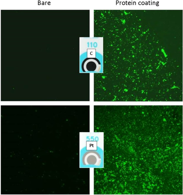 Characterization of protein adhesion on WE by using fluorescence microscopy. Representative pictures of electrodes coated with fluorescently labeled p53 protein (right) compared to bare materials (left), both acquired with a 10X magnification on C (top) and Pt (bottom).