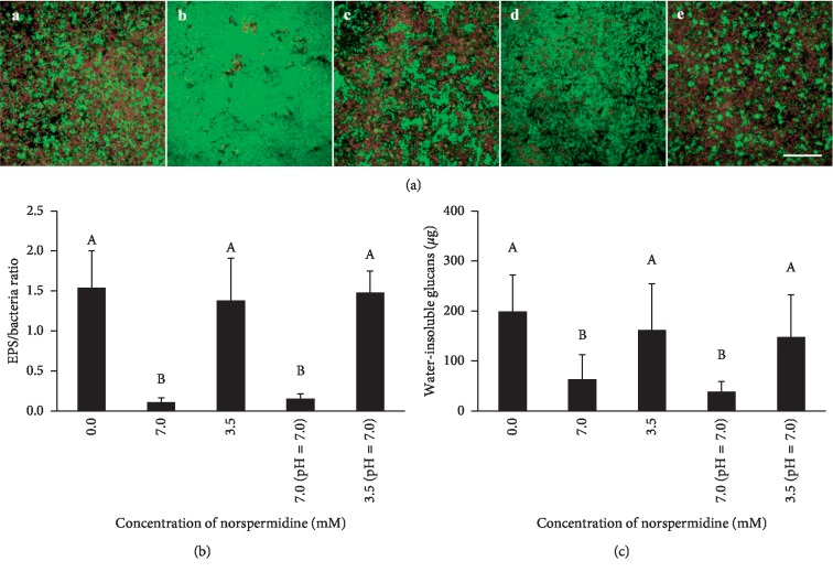 Extracellular polysaccharides (EPS) in S. mutans and S. sanguinis dual-species biofilms. (a) EPS and bacterial staining of dual-species biofilm: (A–E) biofilm staining in the 0.0 mM norspermidine group, 7.0 mM norspermidine group, 3.5 mM norspermidine group, pH-adjusted (pH = 7.0) 7.0 mM norspermidine group, and pH-adjusted (pH = 7.0) 3.5 mM norspermidine group, respectively (bacteria were stained green and EPS was stained red, scale bar = 50 μ m); (b) EPS/bacteria ratio in dual-species biofilm according to coverage area; (c) water-insoluble glucans in biofilm of different groups. Data are presented as mean ± standard deviation, and values with dissimilar letters are significantly different from each other ( p